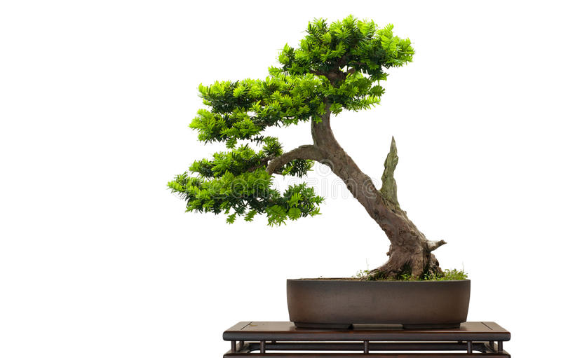Download Japanese as bonsai tree stock image. Image of cuspidata - 25305355