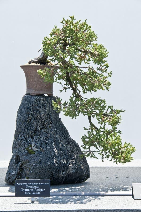 Free Japanese Juniper Bonzai Stock Image - 19862401