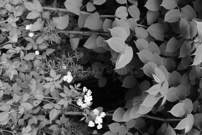 Garden or park Japanese knotweed leafs of summer seasonal royalty free stock photography