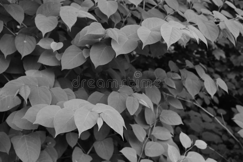 Garden or park Japanese knotweed leafs of summer seasonal stock images