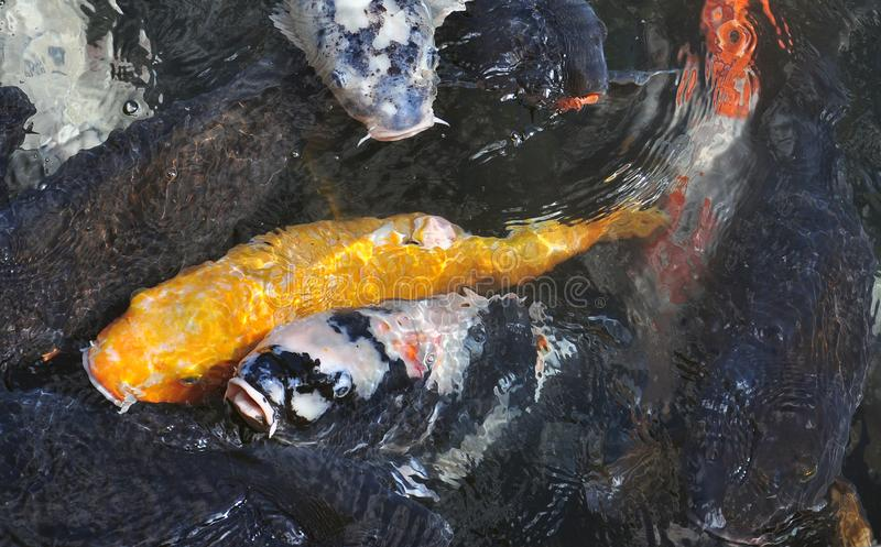 Japanese koi carp fish in a temple pond. Traditional coloured koi carps in a Japanese temple pond