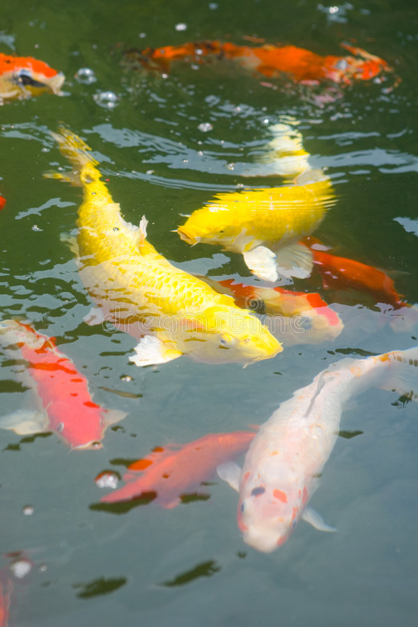Download Japanese Koi Carp In A Pond Stock Photo - Image: 8027956