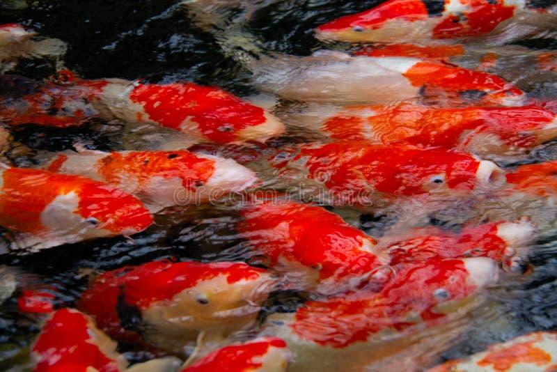 Closeup from Japanese Koi fish stock photo