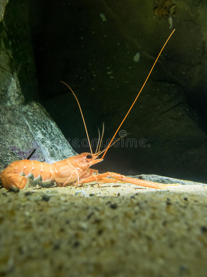 Free Japanese Lobster Royalty Free Stock Photography - 55627977
