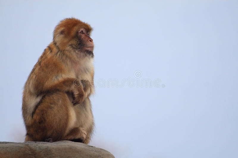 Japanese macaque. The japanese macaque is sitting on rock stock photos