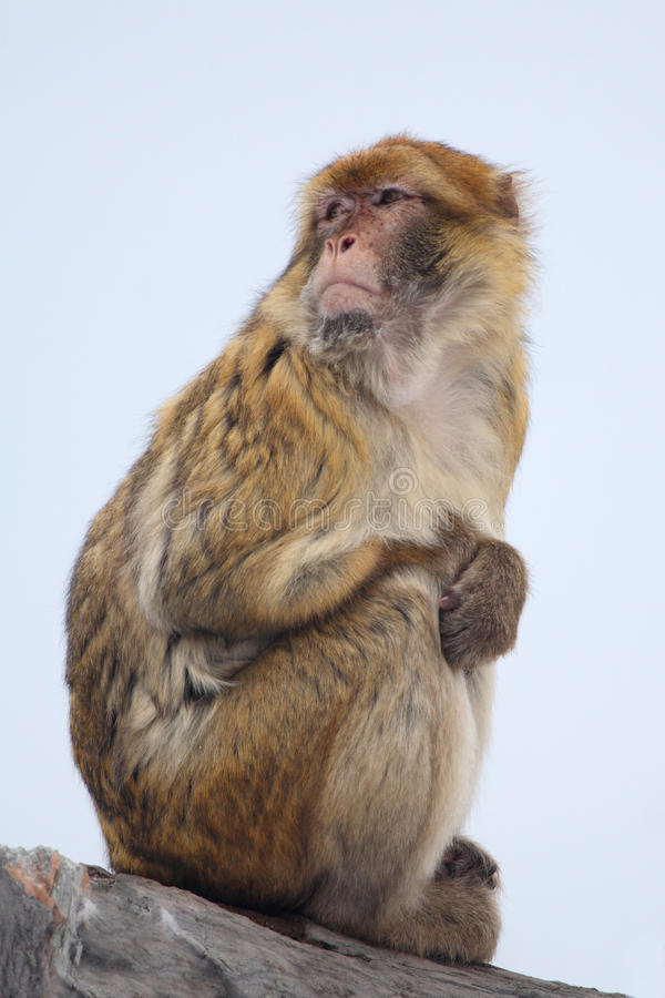 Japanese macaque. The portrait of japanese macaque stock photos