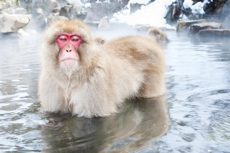 Japanese Macaque. Adult Japanese Macaque Standing in Hot Spring Pool royalty free stock photography