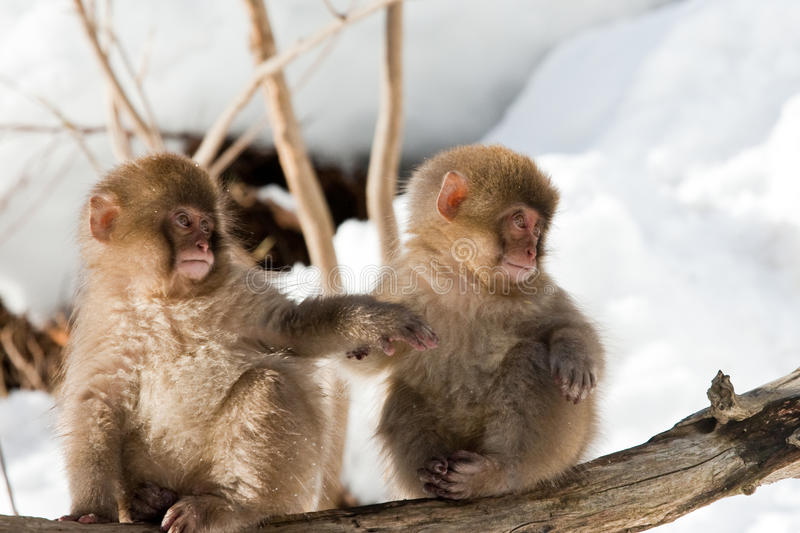 Japanese Macaque. Two Infant Japanese Macaque Holding Hands on Log royalty free stock image