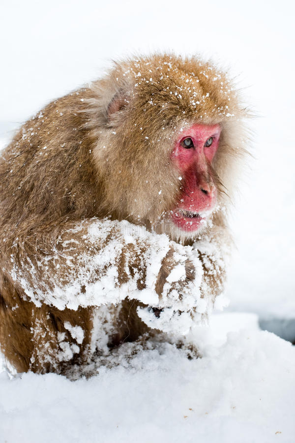 Japanese Macaque. Adult Japanese Macaque Foraging in Snow stock photos