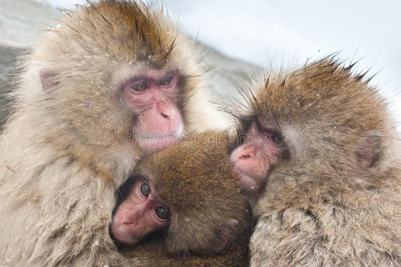 Japanese Macaque. Family of Japanese Macaque Huddling Together for Warmth stock images
