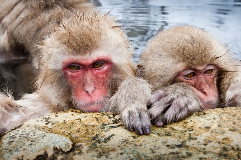 Japanese Macaque. Two Adult Japanese Macaque Relaxing in Hot Spring stock images