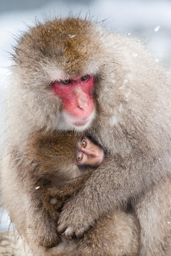 Japanese Macaque. Adult Japanese Macaque Huddling with Infant stock image