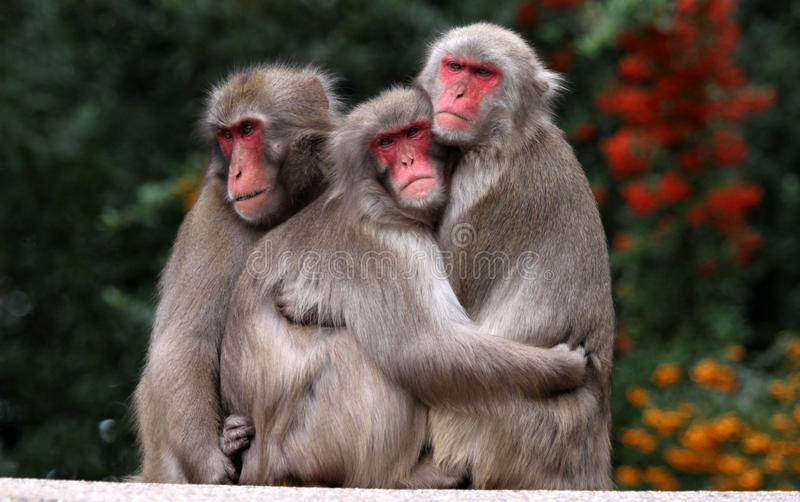 Japanese Macaque. In Love - Macaca fuscata stock photography