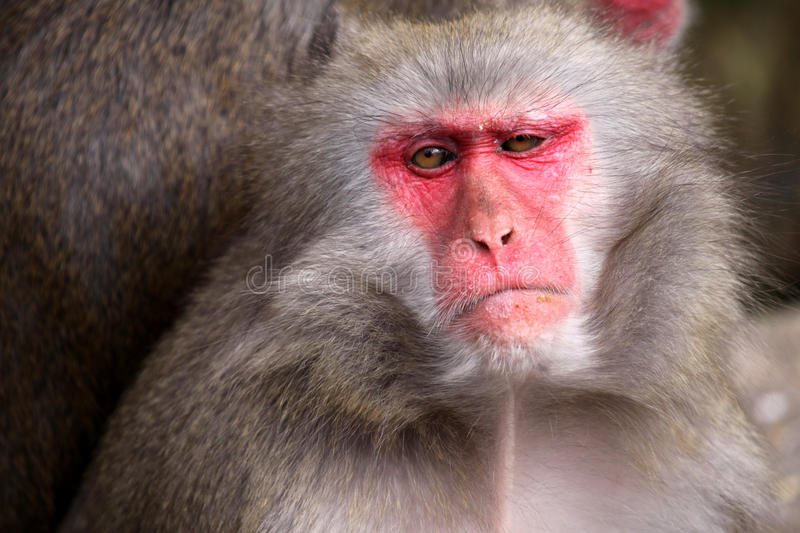 Japanese Macaque. Portrait of adult female japanese macaque - Macaca fuscata royalty free stock images