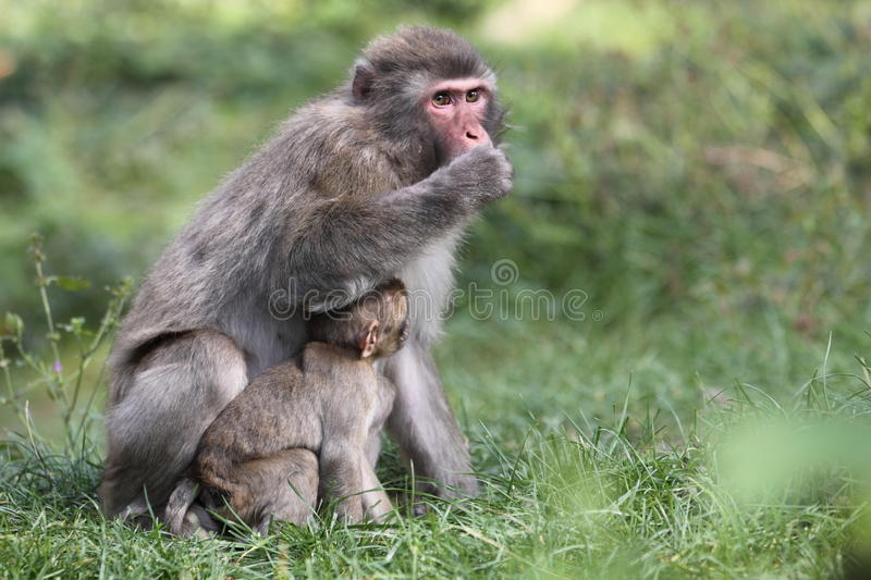 Japanese macaque. The adult japanese macaque with its cub in the grass stock photo