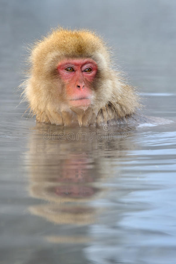 Japanese Macaque. In hot spring stock photography