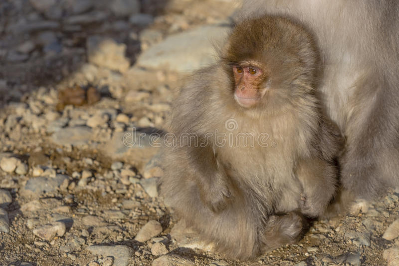 Japanese Macaque Baby Cuddling at Mother`s Feet. An adorable fuzzy, furry, brown Japanese macaque baby looks around at its environment as it snuggles closely to stock image