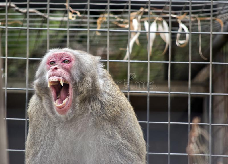 A Japanese Macaque. The Japanese Macaque is bearing his teeth and looking vicious stock images