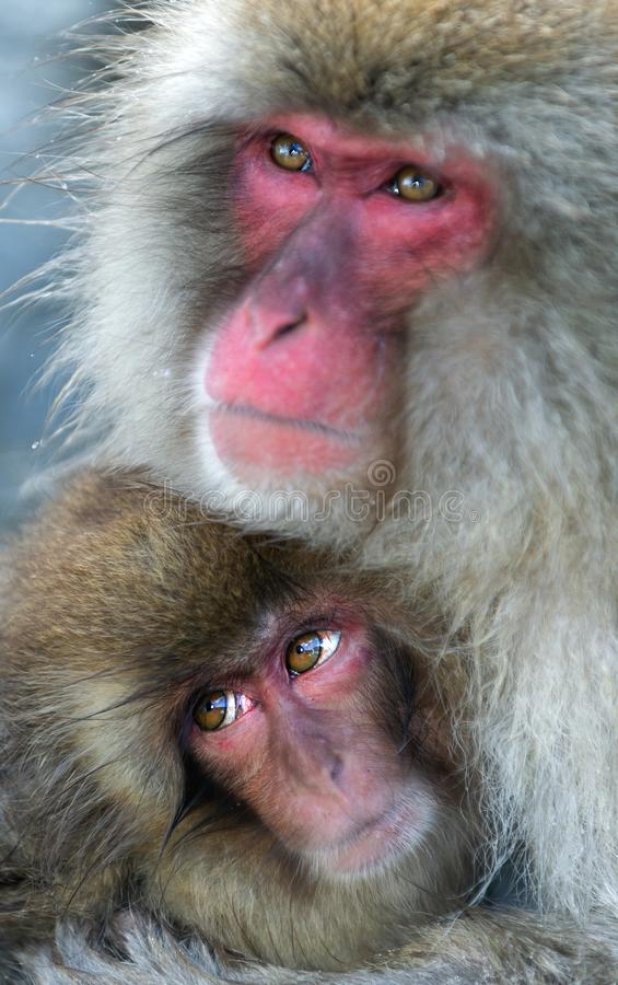 Japanese macaque and cub. Close up portrait. The Japanese macaque ( Scientific name: Macaca fuscata), also known as the snow. Monkey. Natural habitat, winter stock photos