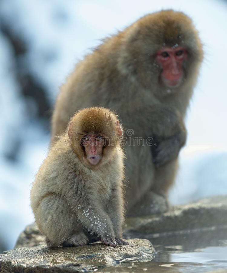Japanese macaque and cub. The Japanese macaque ( Scientific name: Macaca fuscata), also known as the snow monkey. Natural habitat. Winter season stock photos