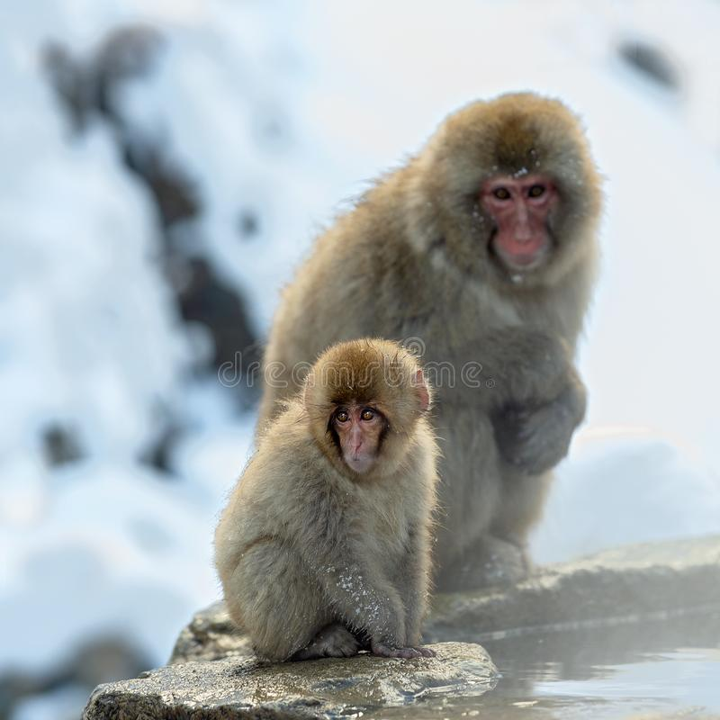 Japanese macaque and cub. The Japanese macaque ( Scientific name: Macaca fuscata), also known as the snow monkey. Natural habitat. Winter season stock image