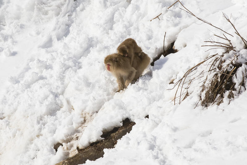 Japanese Macaque going down Snowy Decline with Baby stock image