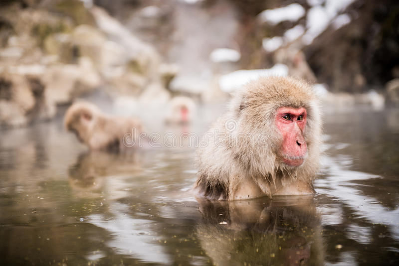 Japanese macaque in hot spring. Japanese macaque (Macaca fuscata) in hot spring, Jigokudani monkey park, Japan royalty free stock photo