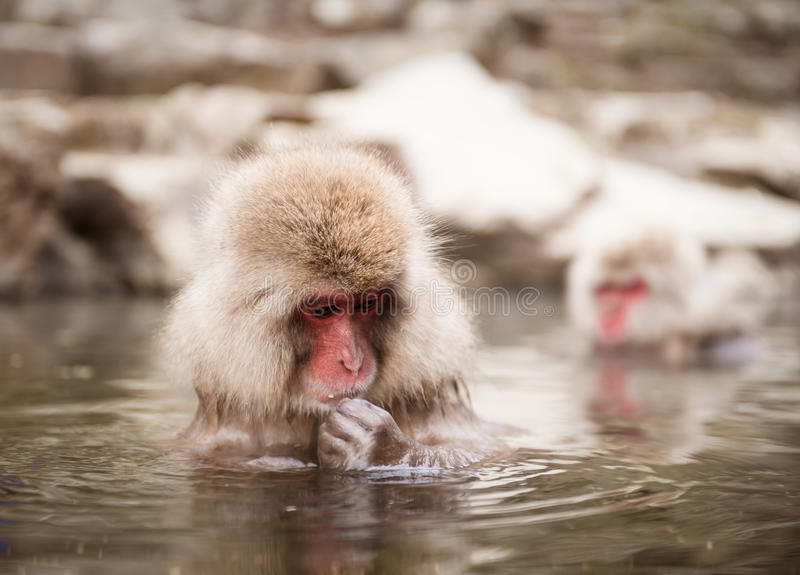 Japanese macaque in hot spring. Japanese macaque (Macaca fuscata) in hot spring, Jigokudani monkey park, Japan royalty free stock images