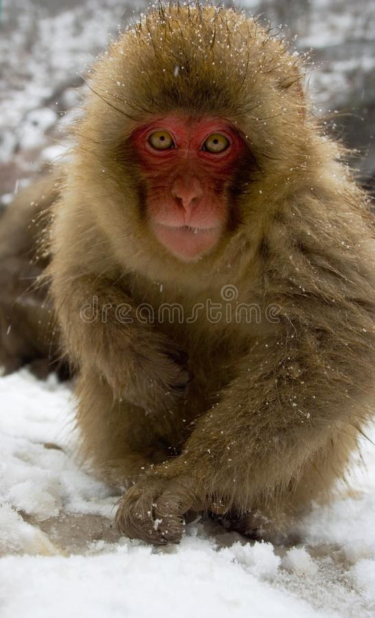 Japanese Macaque, Japanse Makaak, Macaca fuscata royalty free stock photo