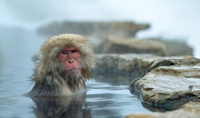 The Japanese macaque in the water of hotsprings. Japanese macaque,Scientific name: Macaca fuscata, also known as the snow monkey royalty free stock photography