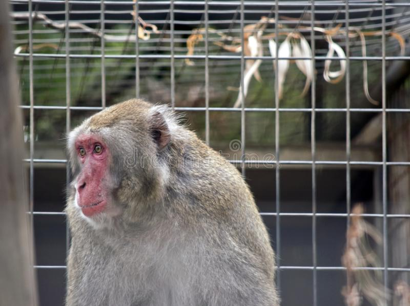 A Japanese Macaque. The Japanese Macaque is looking out his cage royalty free stock images