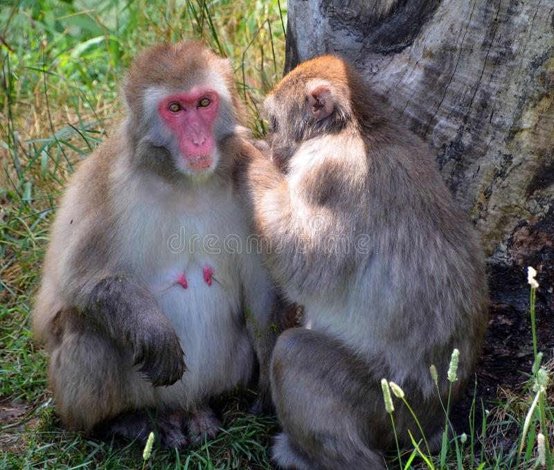 Japanese macaque Macaca fuscata,. Also known as the snow monkey, is a terrestrial Old World monkey species that is native to Japan stock image