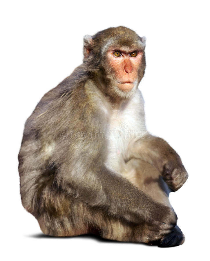 Japanese macaque. (Macaca fuscata). Isolated over white background with shade stock image