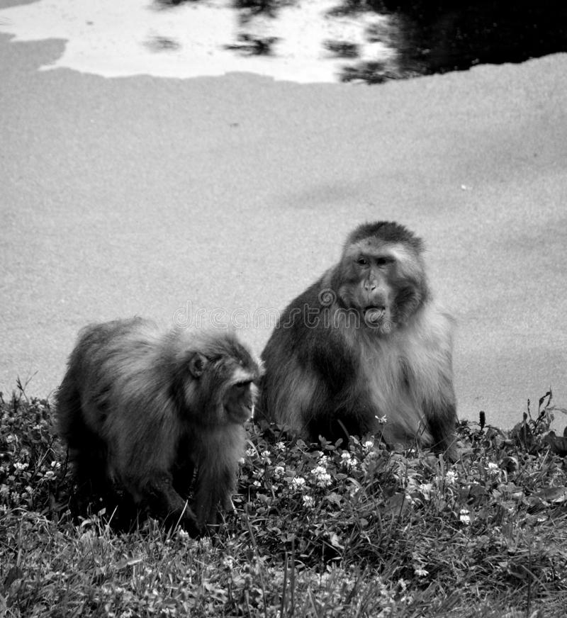 Japanese macaque Macaca fuscata,. Also known as the snow monkey, is a terrestrial Old World monkey species that is native to Japan royalty free stock photo