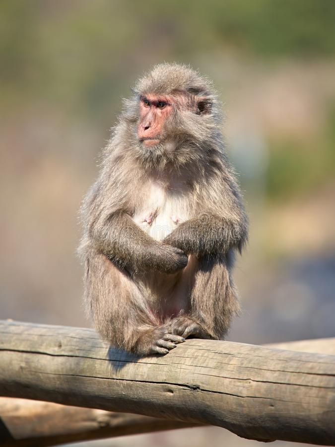 Japanese macaque. Macaca fuscata on log royalty free stock photo