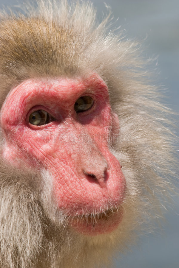 Japanese Macaque Monkey royalty free stock photography