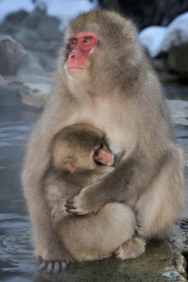 Japanese macaque. Mother Japanese Macaque with young in her arms royalty free stock image