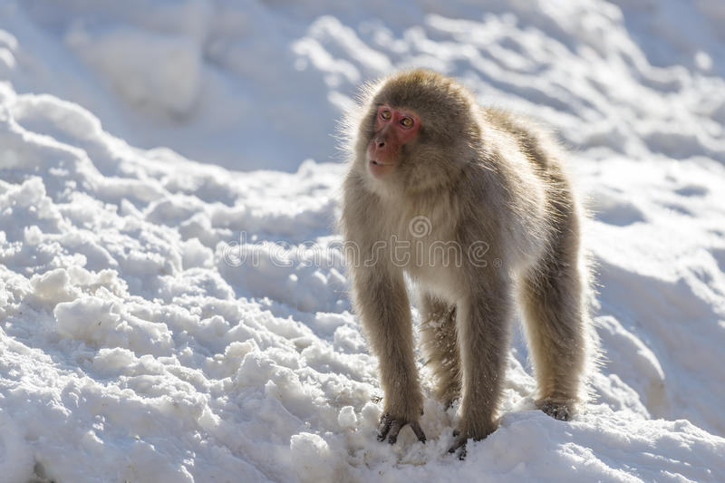 Japanese macaque. Portrait of a japanese macaque (snow monkey royalty free stock photo