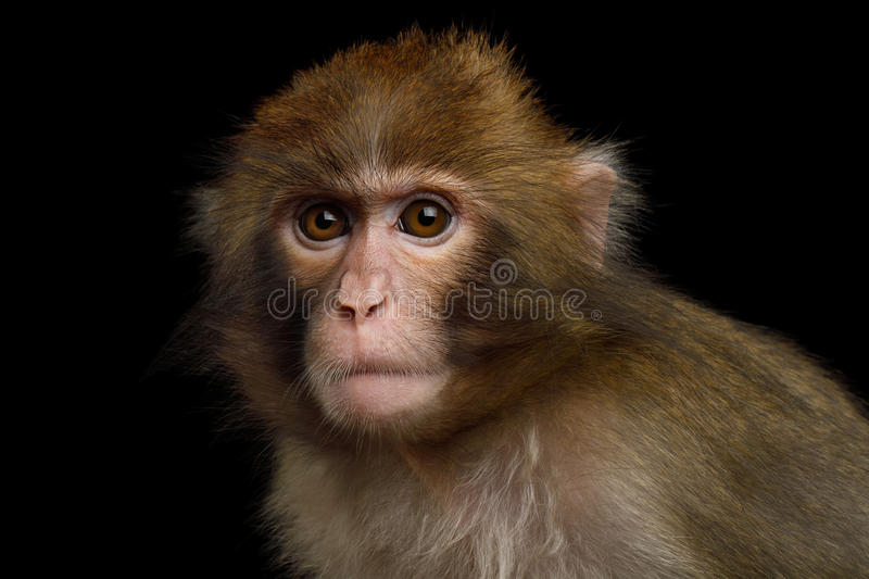 Japanese macaque. Portriat of Japanese macaque Isolated on Black Background royalty free stock photos