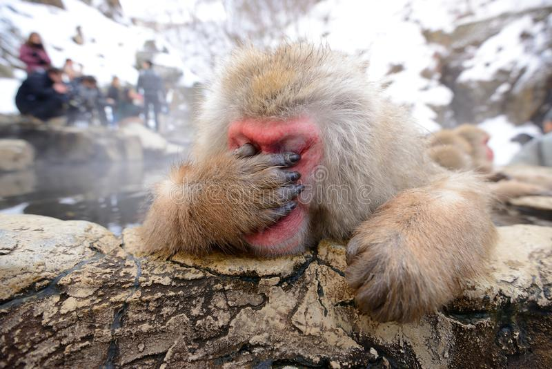 Japanese Snow Monkey. A Japanese Macaque, reacting exhausted due to all the papparazzi stock photography