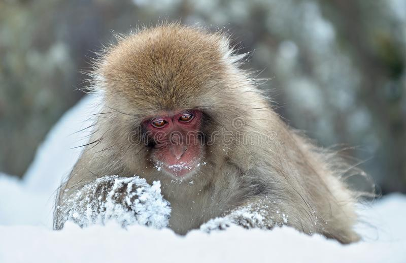 The Japanese macaque. Scientific name: Macaca fuscata Close up portrait. The Japanese macaque Scientific name: Macaca fuscata, also known as the snow monkey royalty free stock photo