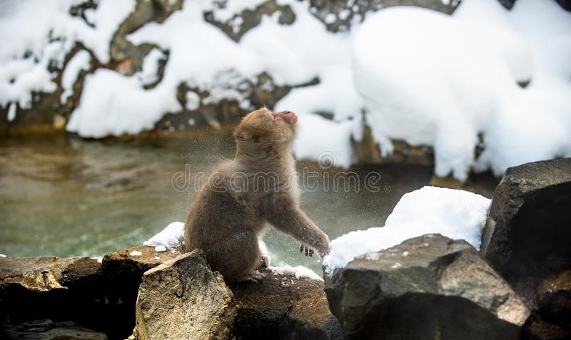 Japanese macaque shakes himself, sitting on the stone. Scientific name: Macaca fuscata, also known as the snow monkey. Natural stock photos