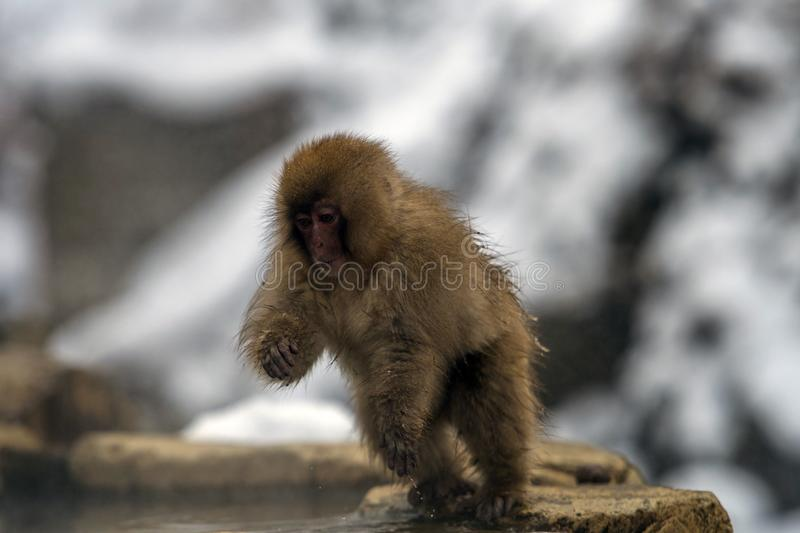 Japanese macaque or snow monkey, Macaca fuscata, getting out of hot spring. With water dripping from his body. Joshinetsu-Kogen National Park, Nagano, Japan stock photo