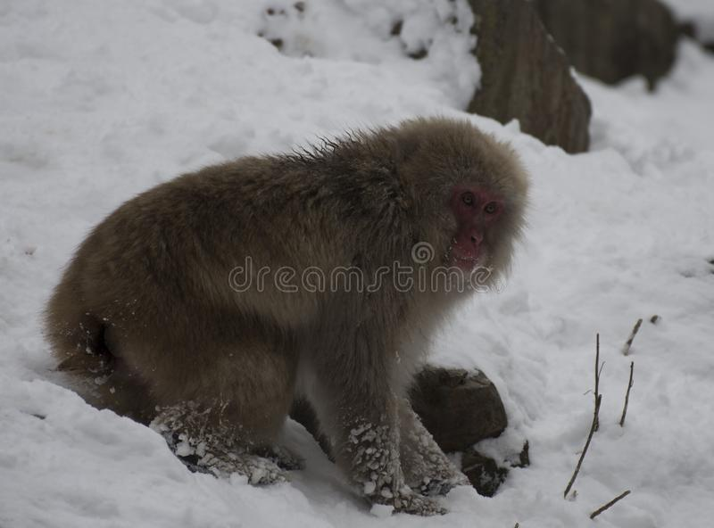 Japanese macaque or snow monkey, Macaca fuscata, looking at cameras, showing red face. Foraging for food in snow with frozen snow on fur. Joshinetsu-Kogen royalty free stock photo