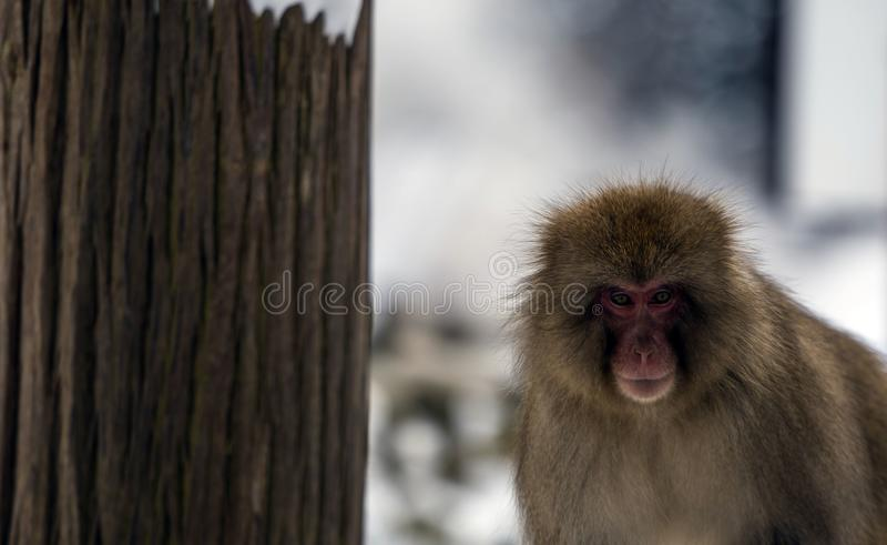 Japanese macaque or snow monkey, Macaca fuscata, looking straight at camera. Joshinetsu-Kogen National Park, Nagano, Japan stock images