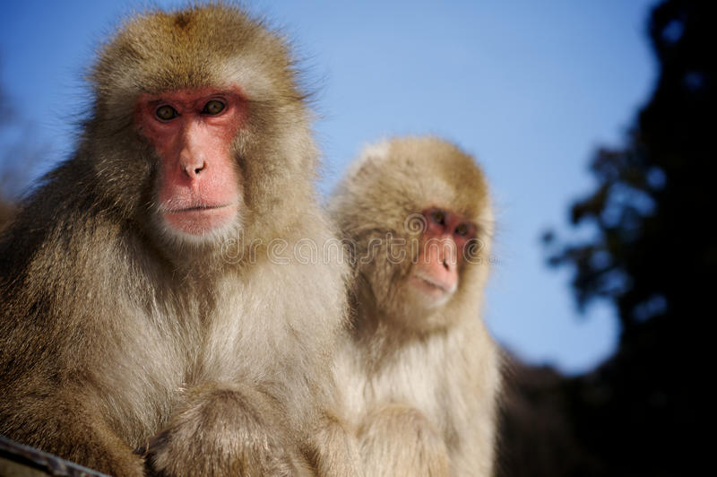 Japanese Macaque snow monkeys. Two adult Japanese Macaque snow monkeys sitting together with blue sky and trees in background stock photography