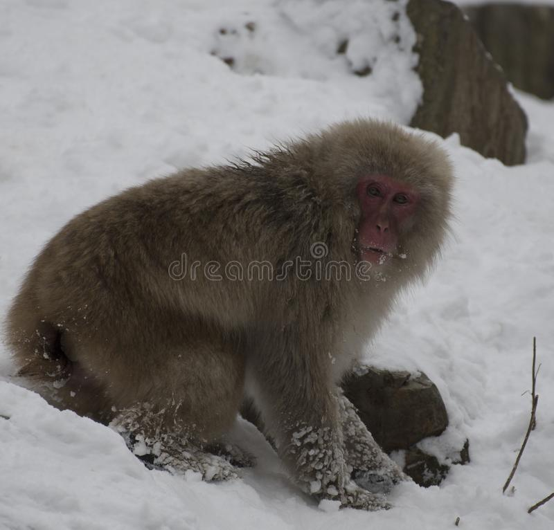 Japanese macaque or snow monkeys, Macaca fuscata , digging in snow in search of food, with snow on face, looking at camera. Jos. Hinetsu-Kogen National Park stock photos