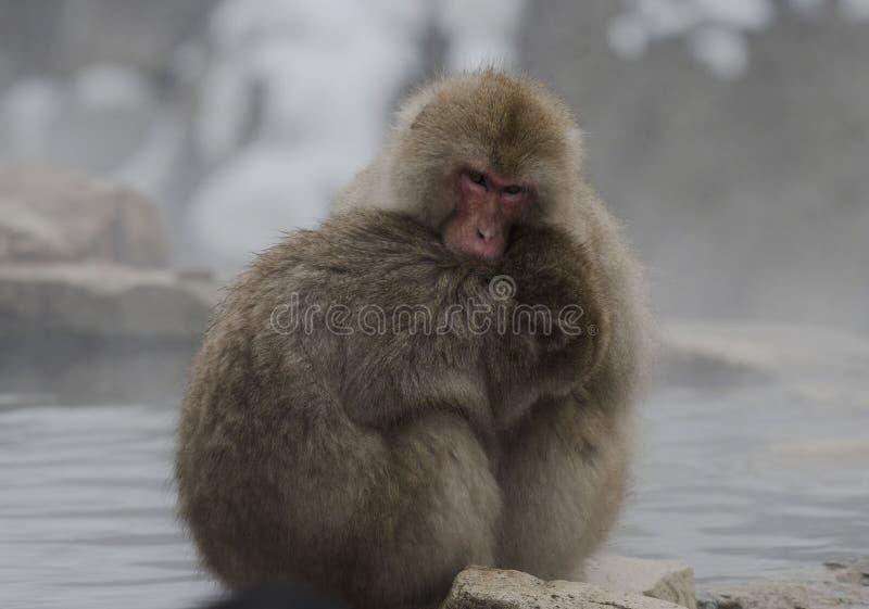 Japanese macaque or snow monkeys, Macaca fuscata , one holding the other to keep warm. Joshinetsu-Kogen National Park, Nagano,. Japan stock photography