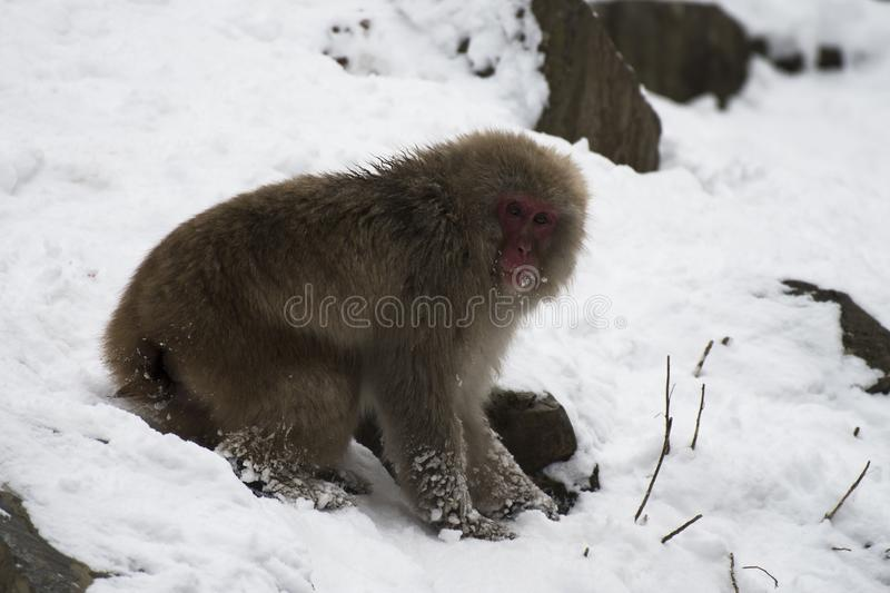Japanese macaque or snow monkeys, Macaca fuscata , sitting on snow, with snow in background, looking right. Joshinetsu-Kogen Na. Tional Park, Nagano, Japan stock image