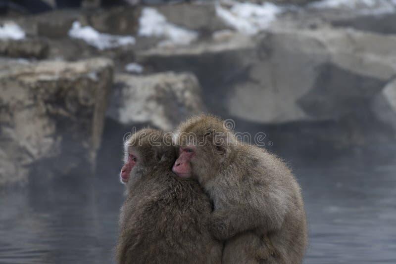 Japanese macaque or snow monkeys, Macaca fuscata , sitting close together on rock of hot spring, looking left. Joshinetsu-Kogen. National Park, Nagano, Japan stock photo